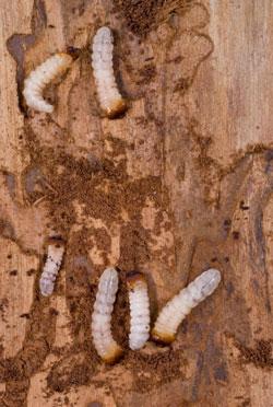 What do bed bug bites look like Get detailed information
