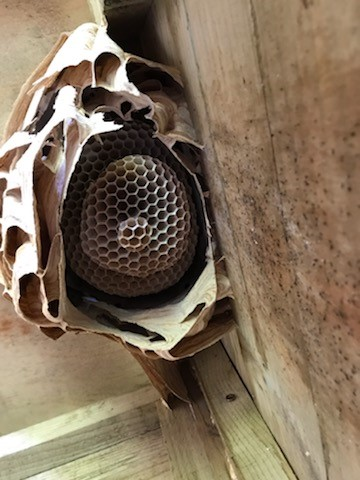 Hornet Nest Removal in Wrexham